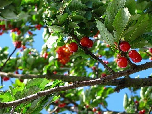 La vallée d'Okanagan: après les petits fruits, la marijuana
