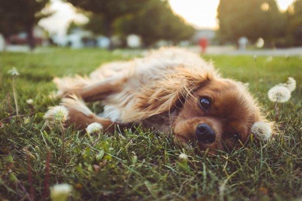 Améliorer la santé de votre chien (et de votre pelouse !) avec le chanvre