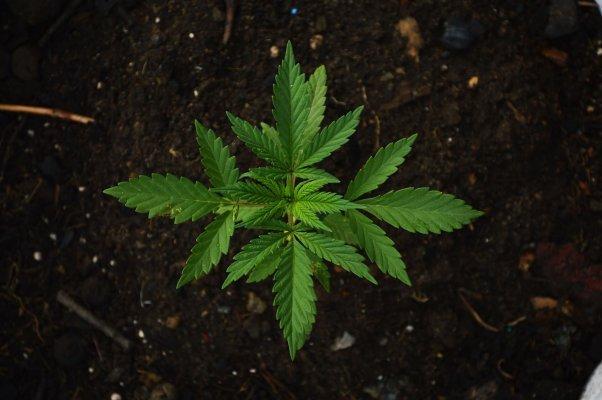 Les étonnantes propriétés des terpènes du cannabis