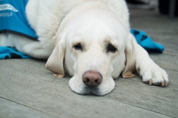 Feu vert de Santé Canada pour tester le cannabidiol destiné aux animaux