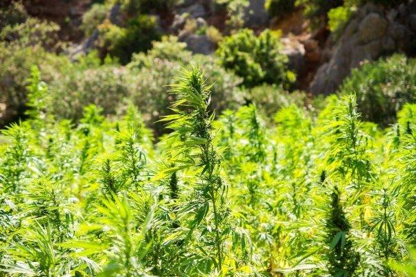 Des voleurs de cannabis qui repartent avec du chanvre!