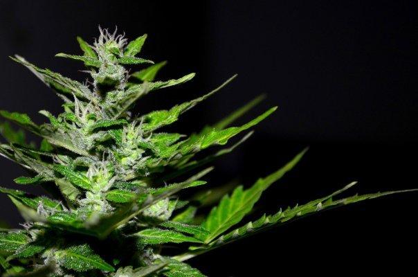 Un musée dédié au cannabis ouvre ses portes aux États-Unis