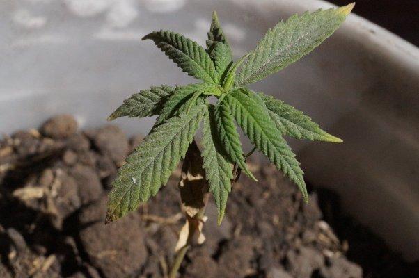 Faire pousser du cannabis avec une application